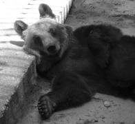 Medvjed