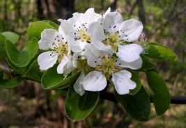 Bijeli cvijet