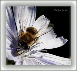 Pčela